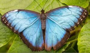 blue-morpho-pic